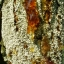 อำพันบอลติกแท้ 100% Baltic Amber Resin จากประเทศลิทัวเนีย อโรมาเธอราพี สุคนธบำบัด สีเหลืองทอง กลิ่นต้นสนธรรมชาติ ช่วยฟื้นฟูสภาพผิวและลดริ้วรอย ใช้เป็นเครื่องประดับ - 100g thumbnail 10