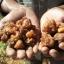 น้ำมันมดยอบ อโรม่า Myrrh Oil แท้ 100% จากประเทศโซมาเลีย Somalia กลิ่นหอมหวาน ลดเครียด มีสมาธิ รักษาโรคทางระบบทางเดินอาหาร ลดการอักเสบ เสริมสร้างเซลและภูมิคุ้มกัน ลดริ้วรอย เพิ่มความชุ่มชื้นผิว 3 ml. thumbnail 7
